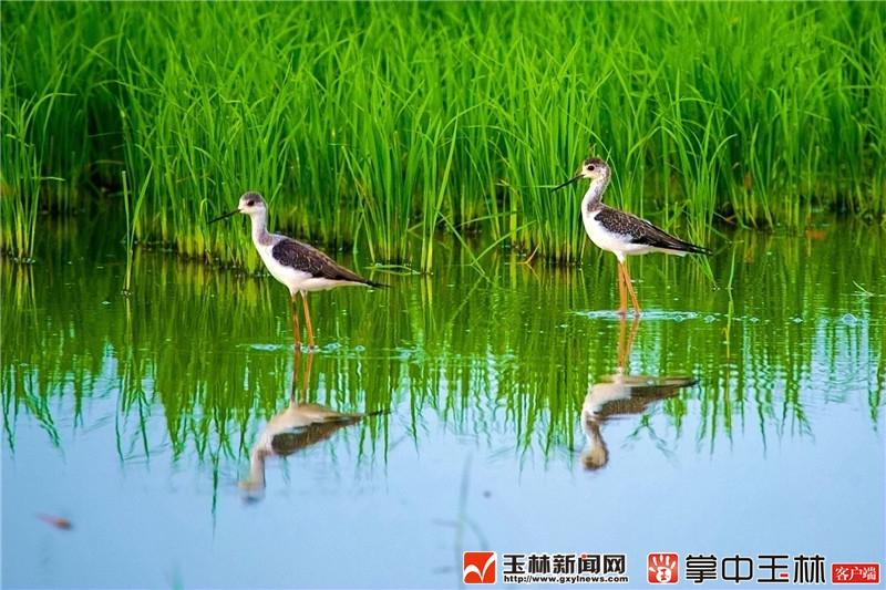 """五彩田园天蓝、地绿、水清 引来珍稀鸟禽""""安家"""""""