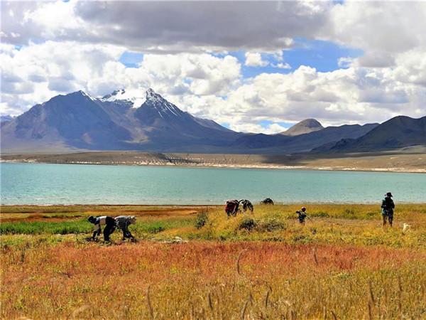 西藏迎来饲草收割季
