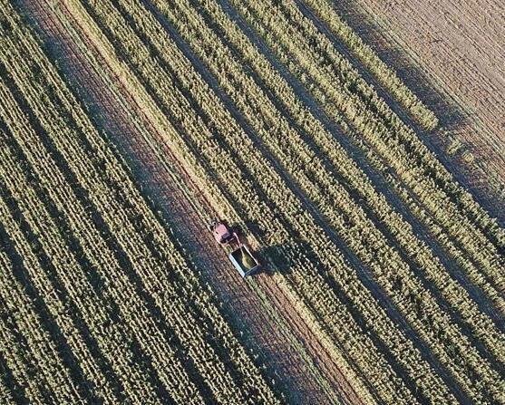 玉米秋收图