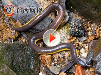 """南宁周边发现""""活化石""""版纳鱼螈"""