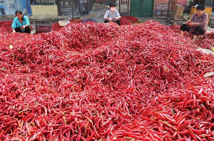 河北吴桥:辣椒丰收乐农家