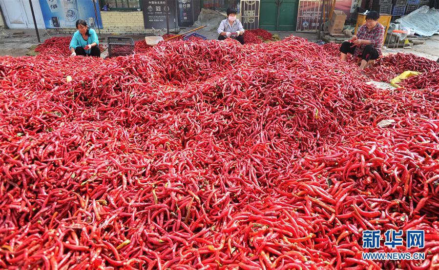 (经济)(1)河北吴桥:辣椒丰收乐农家