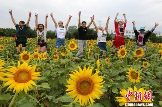 广西大苗乡百亩葵花盛开