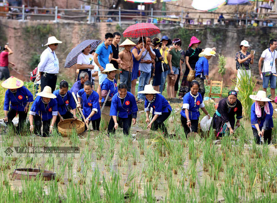 高清组图:柳州三江百余名妇女抓鱼打谷庆丰收