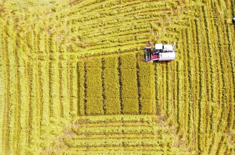 广西鹿寨:制种水稻丰收