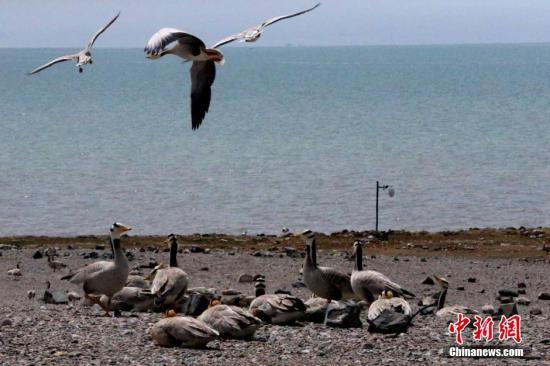资料图:青海湖鸟岛迎来大量候鸟。 罗云鹏 摄