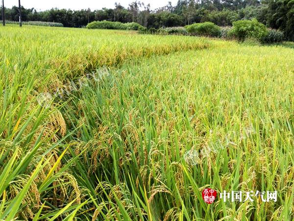 东兴气温虽偏低 但对晚稻产量影响不大