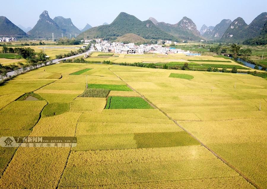 空中鸟瞰罗城8万亩金黄稻田(组图)