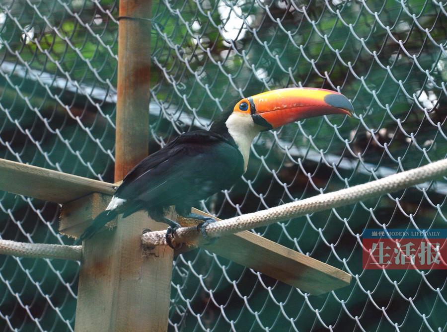 南宁动物园引进鞭笞巨嘴鸟 南美大嘴萌鸟亮相广西