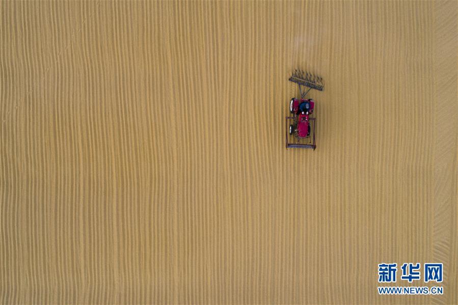 #(社会)(1)江苏海安优质稻米喜迎丰收