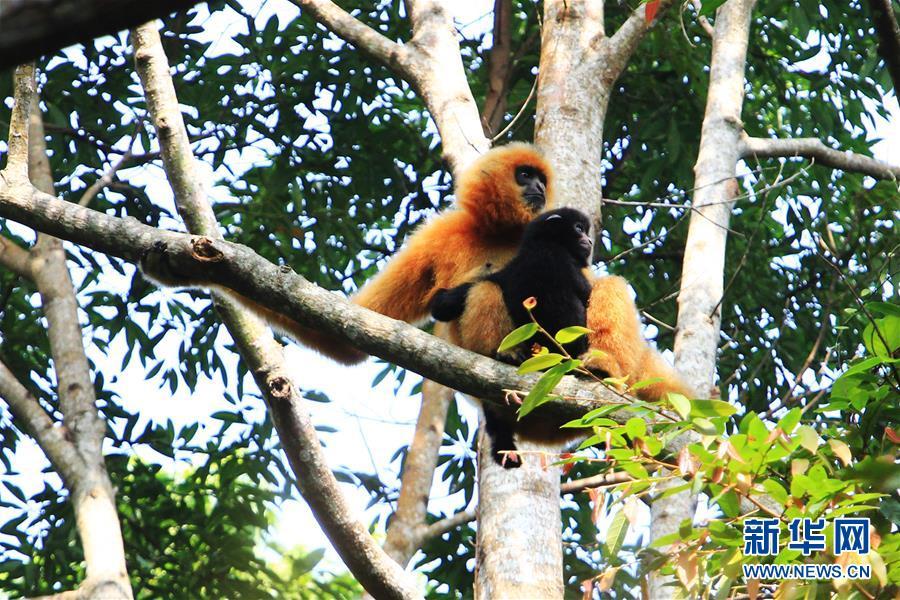 (图文互动)濒危物种海南长臂猿发现新雌性独猿 有助种群恢复