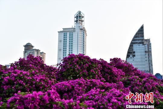 上千株三角梅在城市中盛开 王以照 摄