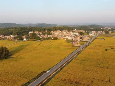 广西上林:田园丰收色