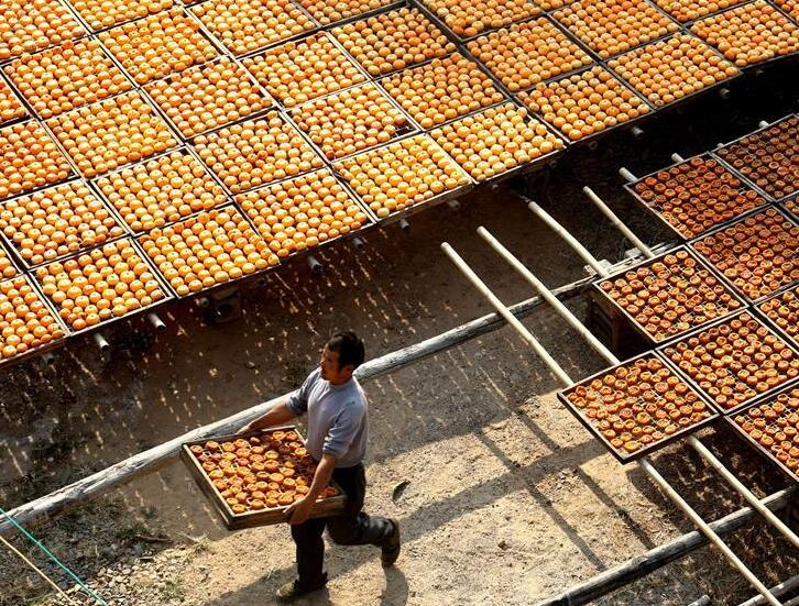 广西恭城:瑶乡柿子迎丰收
