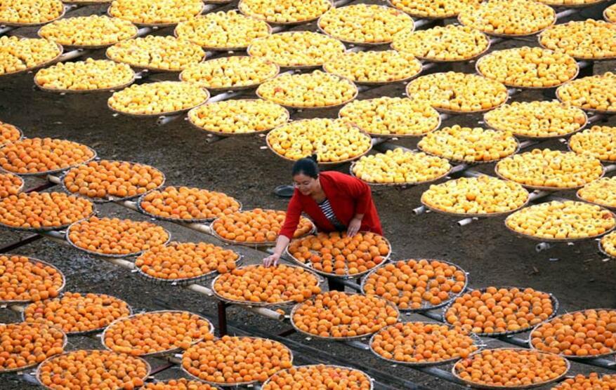 广西平乐:金黄月柿添秋色