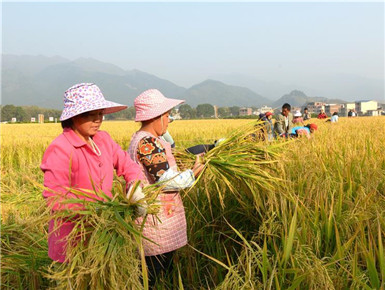 """广西:""""超级稻+再生稻""""平均亩产突破1500公斤"""