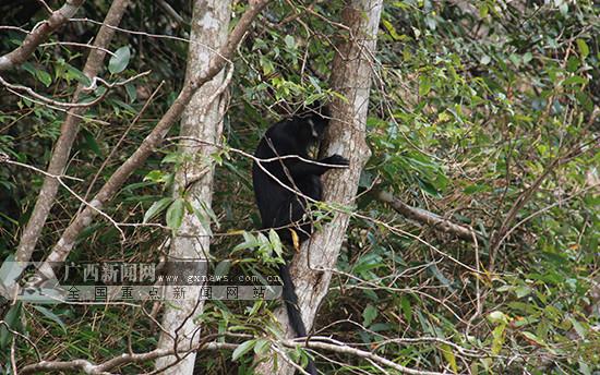 广西野化放归5只人工繁育的黑叶猴 属全球首次