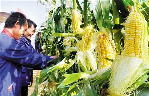 中国南方鲜食玉米大会举办地永久落户南宁