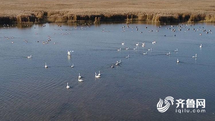 黄河三角洲迎来近万丹顶鹤,大天鹅等候鸟