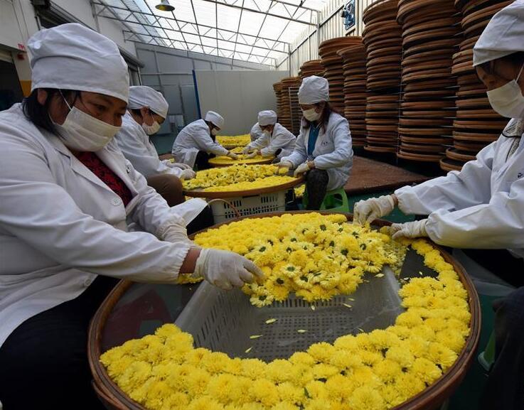 婺源皇菊成为农民增收致富的新兴产业