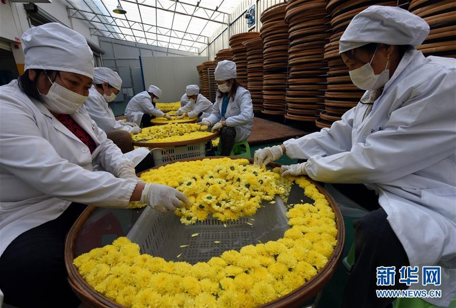 (经济)(1)婺源皇菊成为农民增收致富的新兴产业