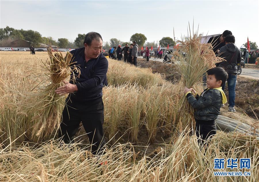 (社会)(2)北京顺义:收割水稻  体验农耕文化