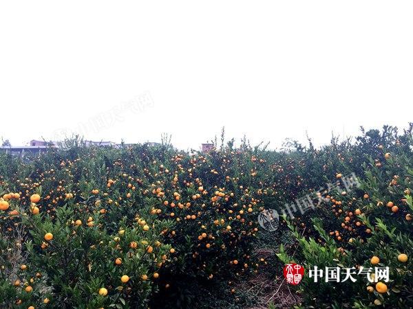天气给力 桂林全州柑橘丰收大量上市