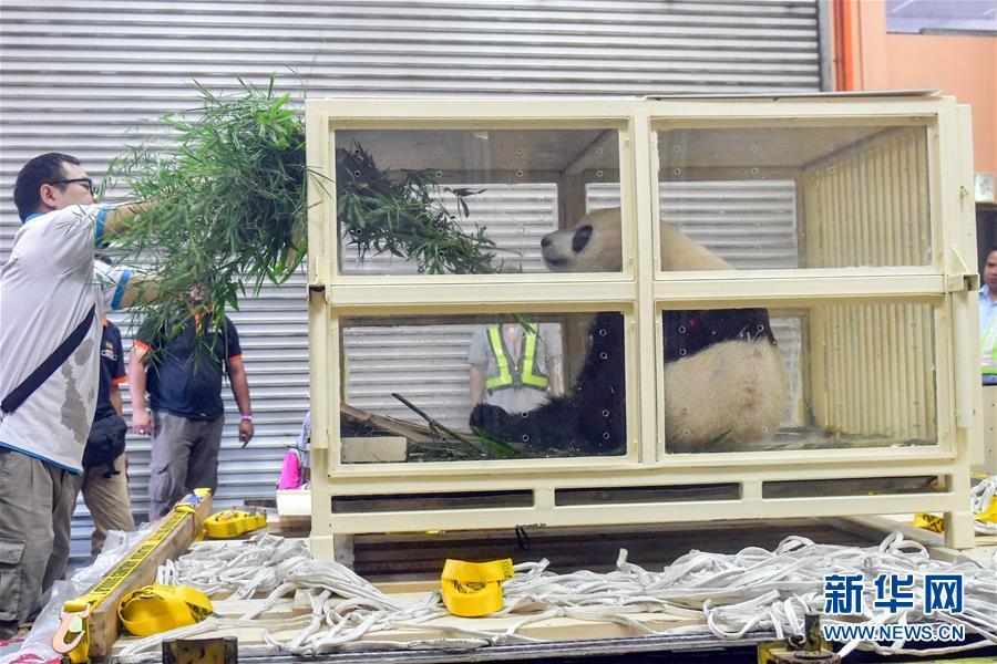 """(国际)(1)出生在马来西亚的大熊猫""""暖暖""""启程回国"""