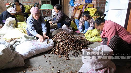 田阳县玉凤镇油茶种植面积达10.8万亩(图)