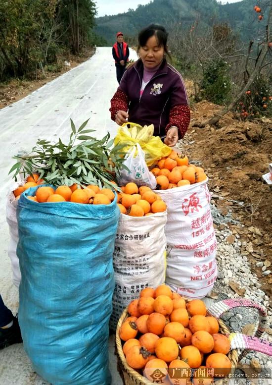 隆林20万斤柿子滞销 爱心老板闻讯伸援手