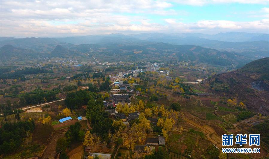 11月27日在广西桂林市灵川县海洋乡小平乐村拍摄的银杏景观.