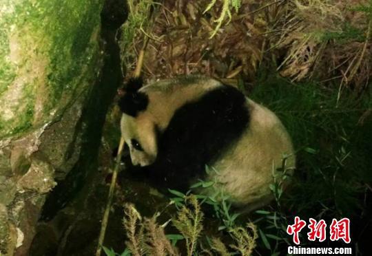 村民拍到的野生大熊猫 杨春 供图