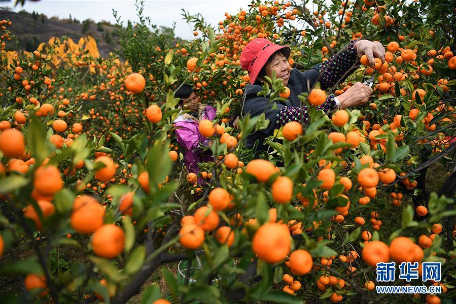 (社会)(1)江西南丰蜜橘进入采摘旺季