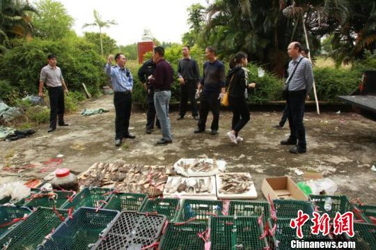 今年11月,湛江市公安局森林分局查获疑似国家二级保护动物鹰43只 通讯员 摄