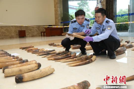 图为缉私警察对查获的涉嫌走私的象牙进行清点 周磊 摄