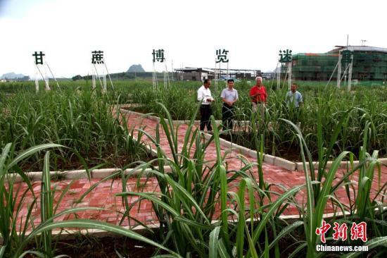 广西是中国最大蔗糖生产基地,蔗糖产量占中国六成以上,蔗农人口超2000万。 <a target='_blank' href='http://www.chinanews.com/'></table>中新社</a>发 黄艳梅 摄