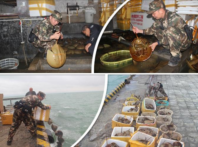 北海:查获276只国家二级保护动物东方鲎(组图)