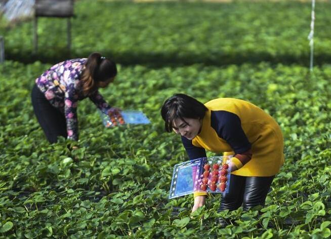 """河北永清:""""农业+旅游""""铺就致富路"""