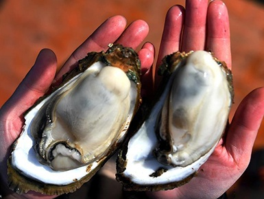 广西钦州:养殖大蚝 助农增收