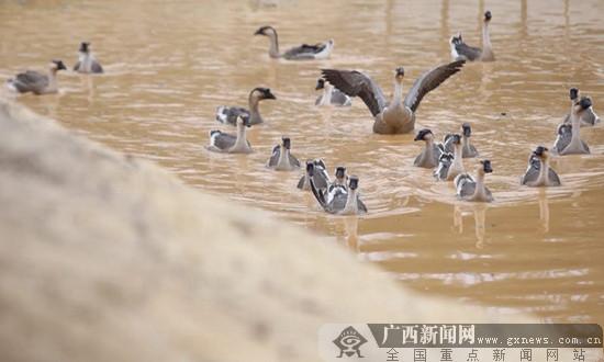 [学习十九大 开拓新港口]以雁鹅为媒 铺就致富路