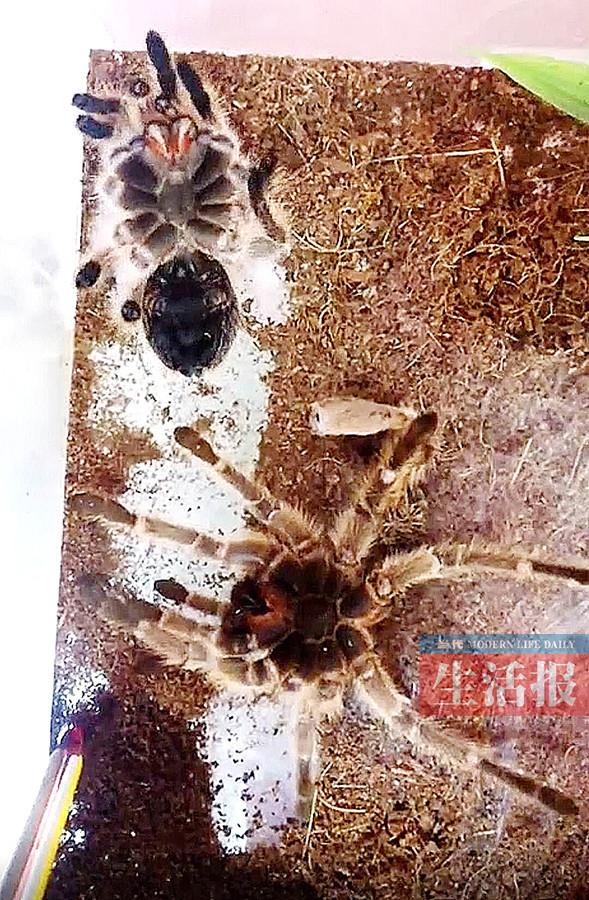 这家人的宠物能把人吓一跳 养的是红蜘蛛