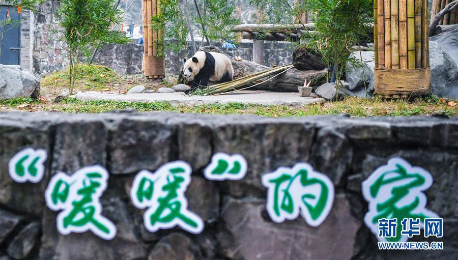 """(社会)(1)海归大熊猫""""暖暖""""结束隔离检疫与公众见面"""