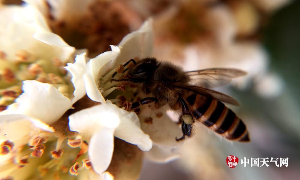 高清组图:寒风里枇杷花开正艳 蜜蜂忙采蜜图片