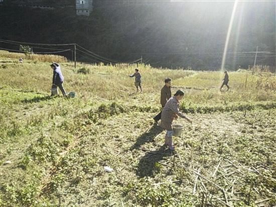 白马乡:冬种菜花促增收