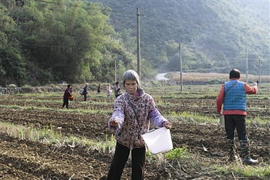 大化:冬种绿肥忙