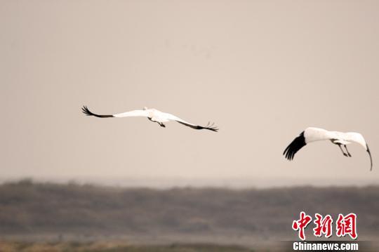 57万余只候鸟飞抵中国最大淡水湖越冬(图)