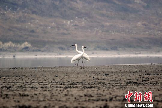 资料图:白鹤在鄱阳湖边嬉戏、引吭高歌。 唐超群 摄