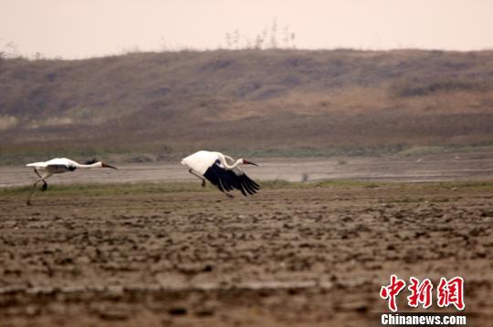 资料图:白鹤在鄱阳湖边觅食。 唐超群 摄