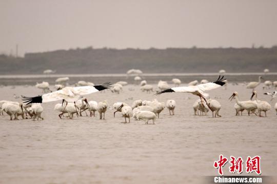 资料图:成群结队的白鹤在鄱阳湖越冬。 唐超群 摄