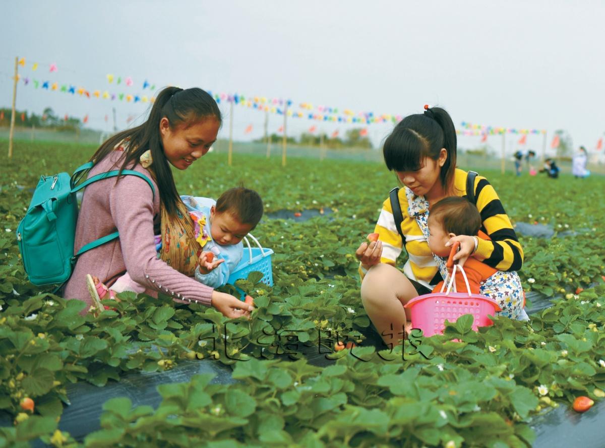 在合浦县廉州镇郊区草莓园,游客们在采摘冬种草莓,体验收获快乐.